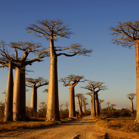 Die einzigartige Baobab-Allee, Madagaskar