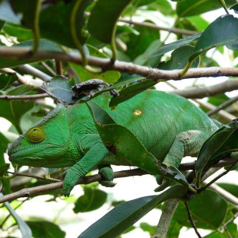 Chamäleon in natürlicher Umgebung, Madagaskar