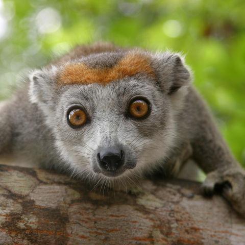 Neugieriger Lemur, Madagaskar