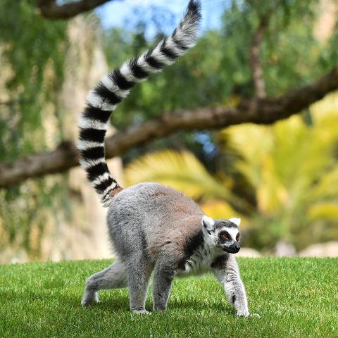 Was ein(e) süße(r) Katta (= ein Ringelschwanzlemur)!, Madagaskar