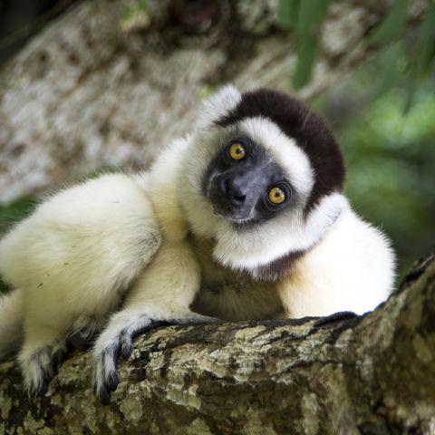 Silky Sifaka oder auch Seidensifaka genannt, Madagaskar