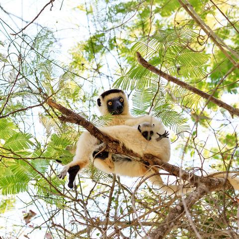 Ein Sifaka mit Baby, Madagaskar