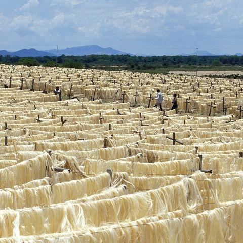 Die aus den Blättern von Agaven gewonnenen Sisalfasern, Sisal-Plantage, Madagaskar