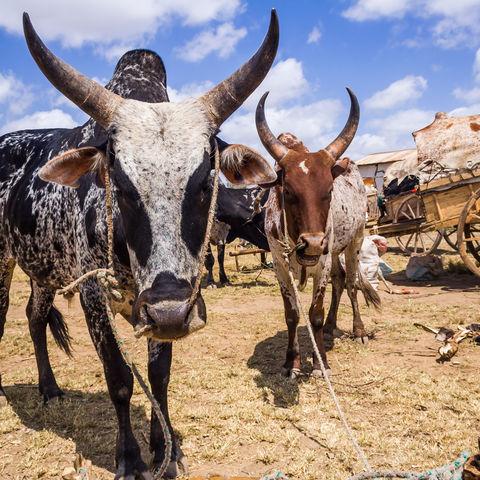 Zebus im Süden des Landes, Madagaskar