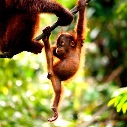 Orang-Utan Baby hängt an einem Ast, Malaysia