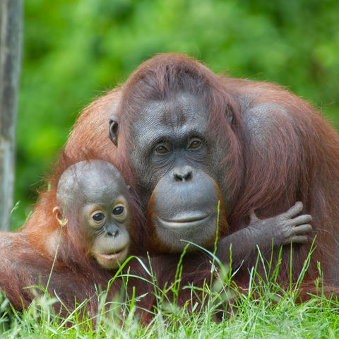 Mutter und Baby Orang-Utan, Malaysia