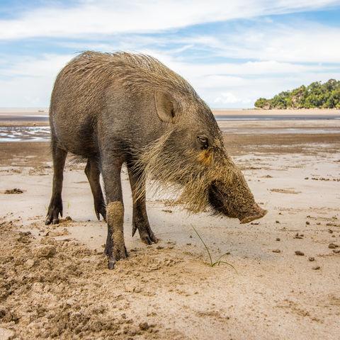 Wildschwein am Strand!, Bako Nationalpark, Kuching, Sarawak, Borneo, Malaysia