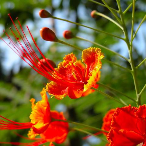 Tropische Blüten, Brunei