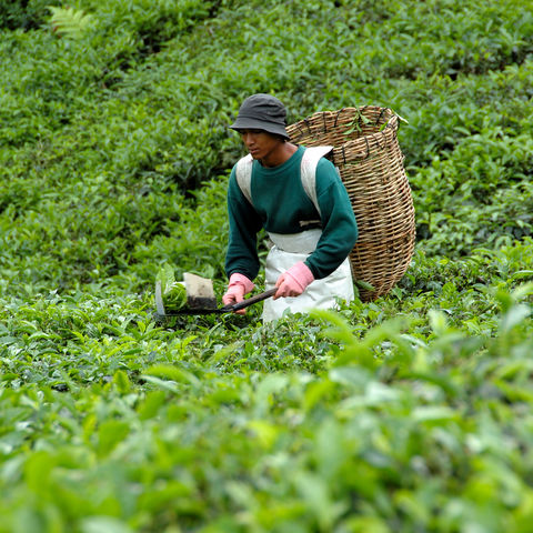 Teepflücker in den Cameron Highlands, Malaysia