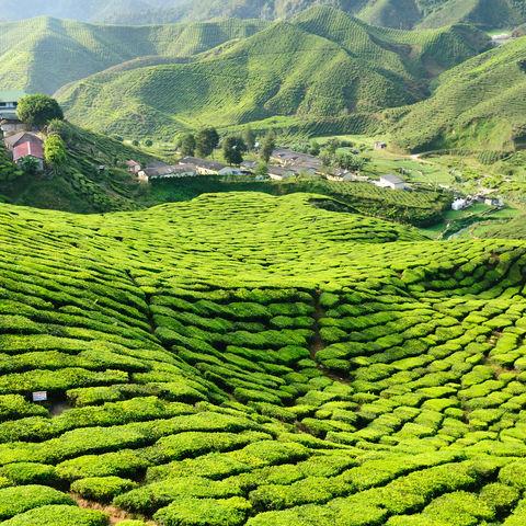 So weit die Hügel reichen: Teeplantagen in den Cameron Highlands, Malaysia