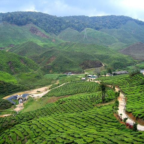 Teeplantagen in den Cameron Highlands, Malaysia