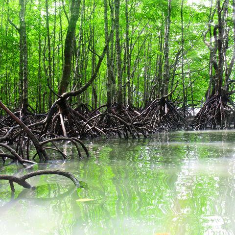 Bootstour vorbei an Riesenwurzeln: Mangrovenwald auf Langkawi, Malaysia