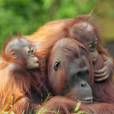 Orang-Utan mit Babys © Thinkstock, iStockphoto