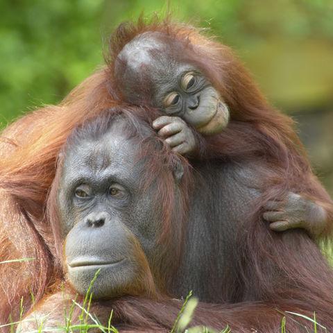 Orang Utan Weibchen mit Baby, Malaysia