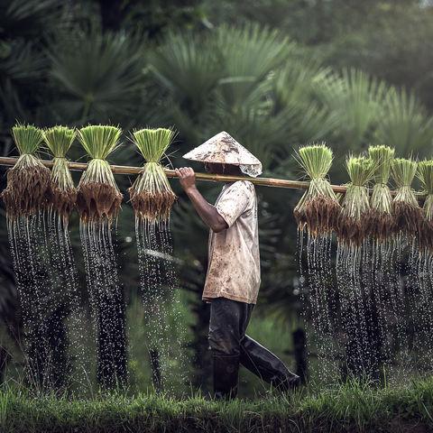 Tropfende Reispflanzen, Malaysia