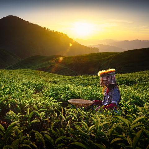 Frau in einer Teeplantage bei Sonnenaufgang, Malaysia