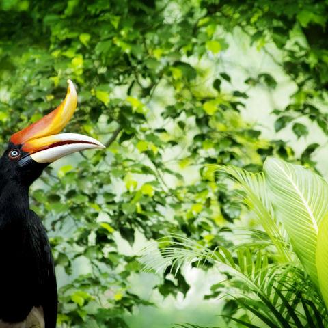 Großer Nashornvogel im tropischen Regenwald, Malaysia