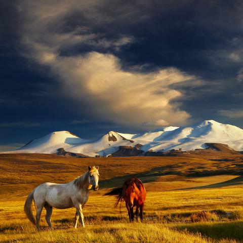 Grasende Pferde vor schneebedeckten Gipfeln, Plateau Ukok, Mongolei