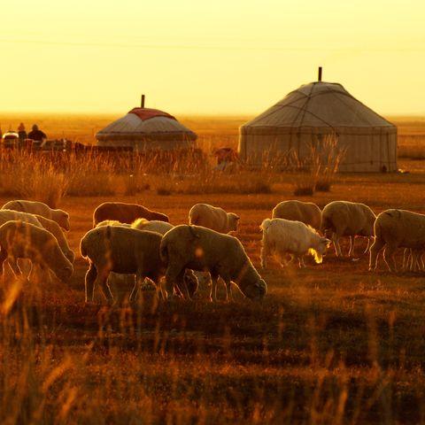 Grasende Schafe vor Jurtenidylle, Mongolei