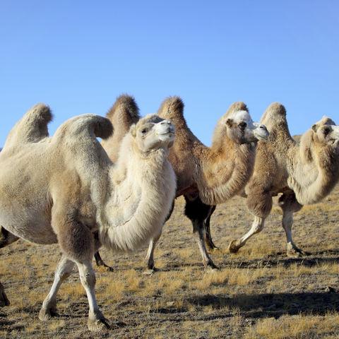 Kamele in der weiten Landschaft, Mongolei