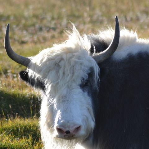 Yak auf der Wiese, Mongolei