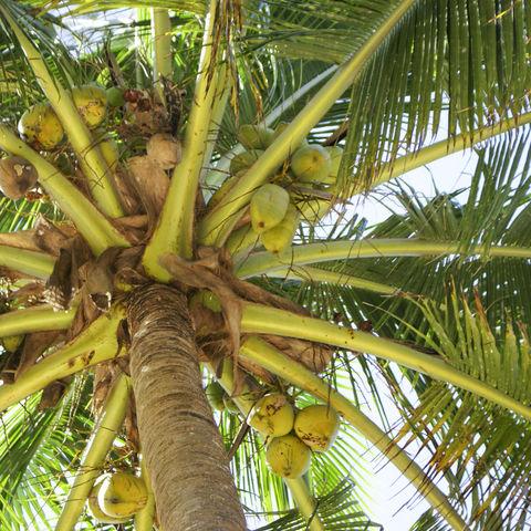 Kokospalme, Mosambik