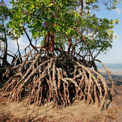 Mangroven, Mosambik