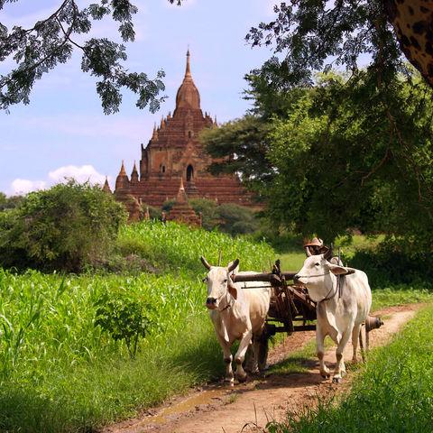 Farmer mit seinen Ochsen in der Nähe von Bagan, Myanmar