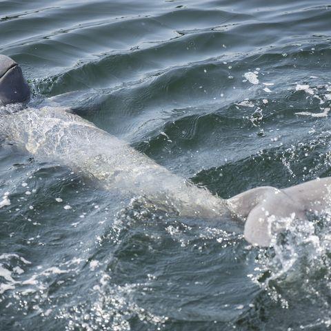 Irrawaddy-Flussdelfin