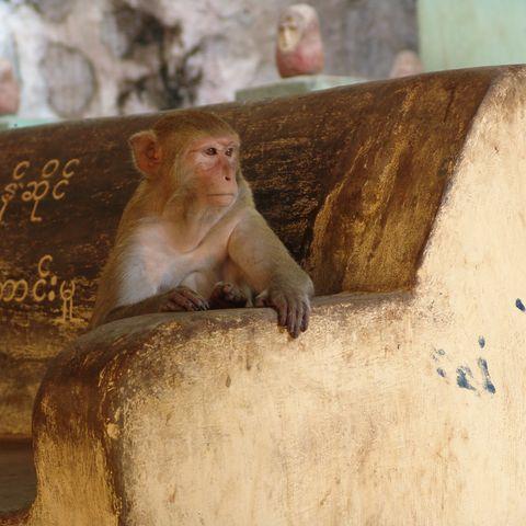 Affe in einem burmesischen Tempel, Myanmar