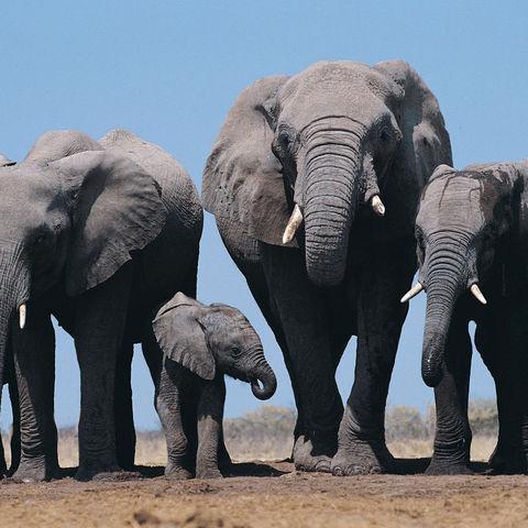 Afrikanische Elefantenfamilie, Namibia