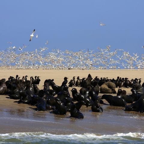 Seelöwen und Vogelkolonien auf einer Bootstour, Namibia
