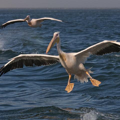 Fliegende Pelikane, Namibia