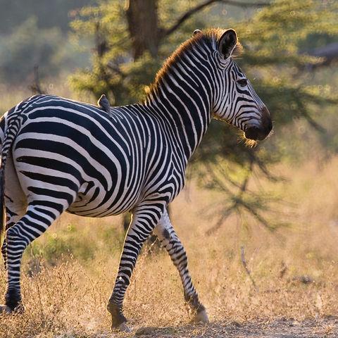 Vogel sitzt auf einem Zebra, Namibia