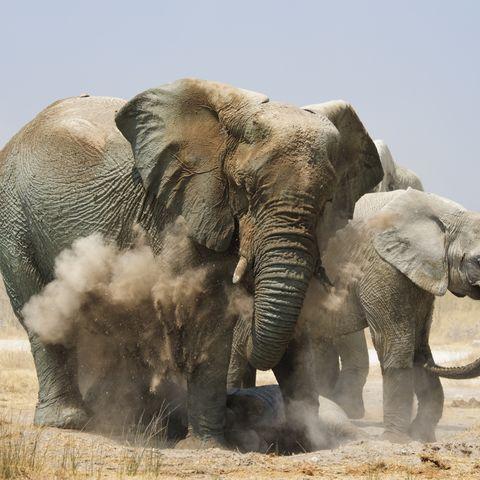 Elefanten beim Sandbad im Etosha Nationalpark, Namibia