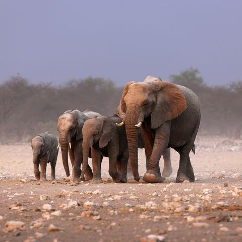 Elefantenfamilie im Etosha Nationalpark, Namibia