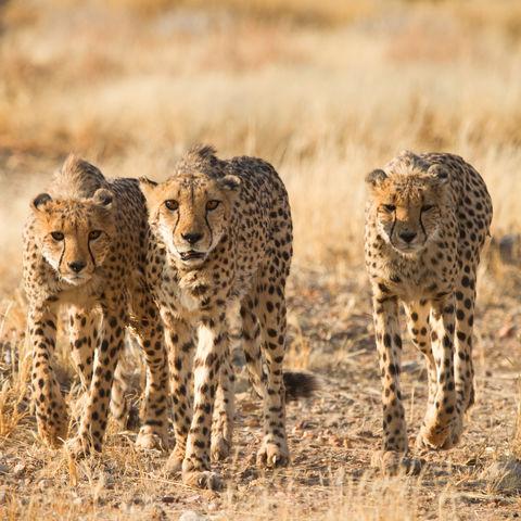 Leise pirschen sie sich heran... Geparden im Etosha Nationalpark, Namibia