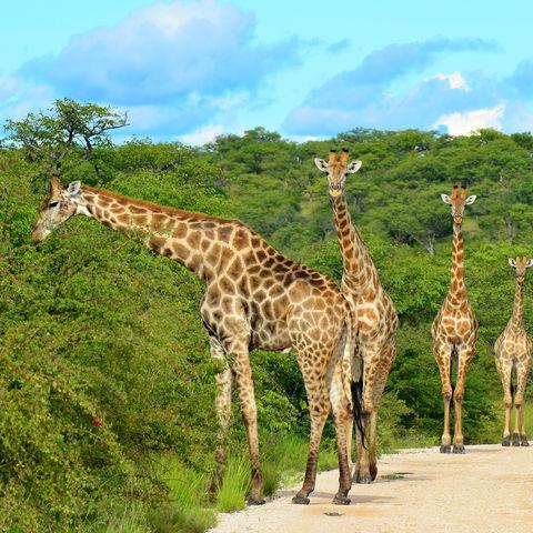 Giraffen im Etosha Nationalpark, Namibia