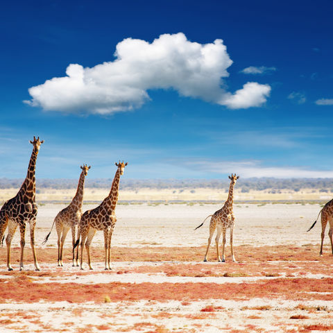 Giraffen im Etosha-Nationalpark © Dmitry Pichugin, Dreamstime