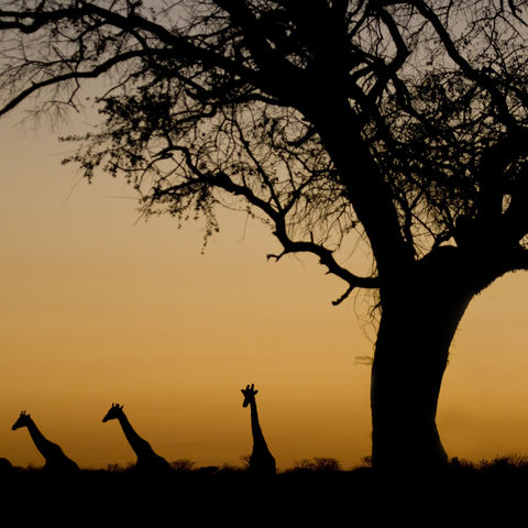 Silhouetten von Giraffen im Etosha Nationalpark, Namibia