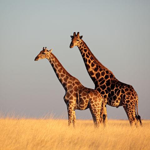 Giraffen im Etosha-Nationalpark, Namibia