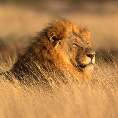 Männlicher Löwe im Licht der Dämmerung, Namibia