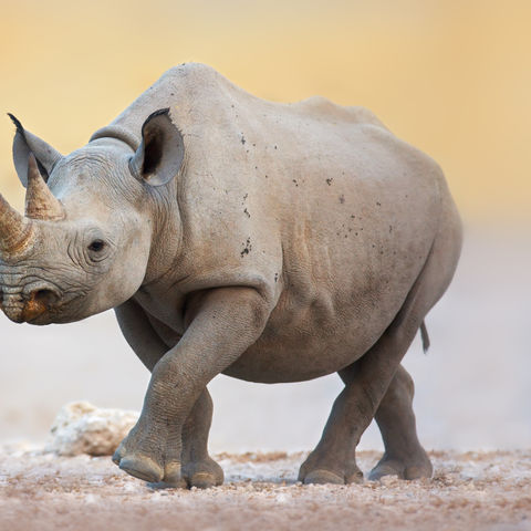 Nashorn im Etosha Nationalpark, Namibia