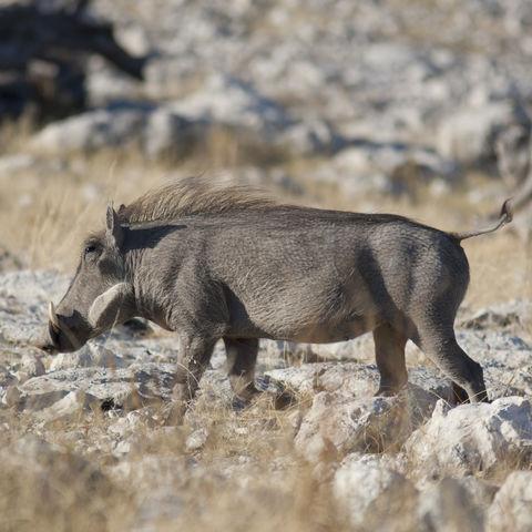 Warzenschwein am Wasserloch Olifantsbad im Etosha Nationalpark, Namibia
