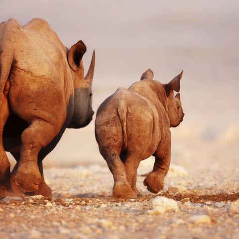 Schwarzes Nashorn und sein Junges, Namibia