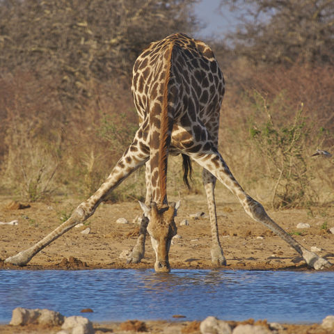 Durstige Giraffa im Etosha Nationalpark, Namibia