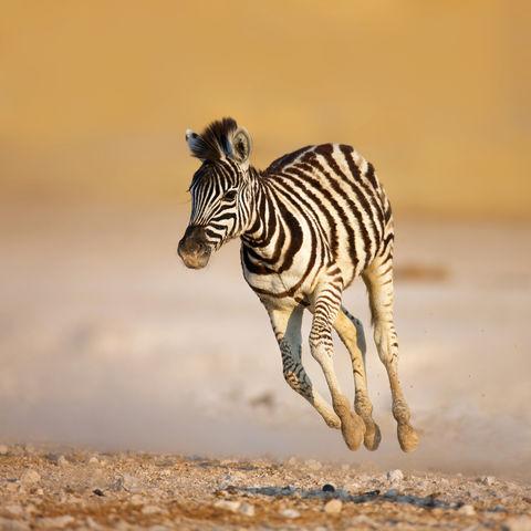Junges Zebra im Etosha Nationalpark © Johannes Gerhardus Swanepoel, Dreamstime.com