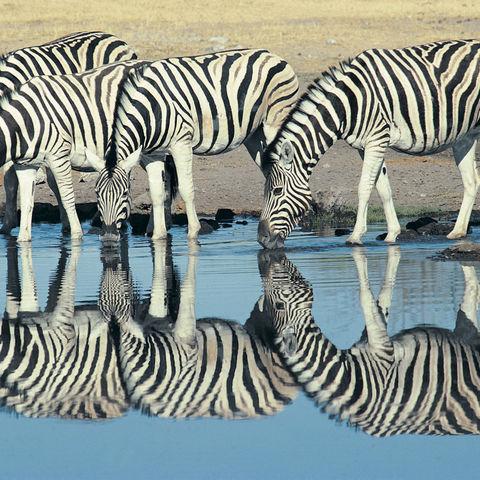 Zebras an einem Wasserloch im Etosha Nationalpark, Namibia