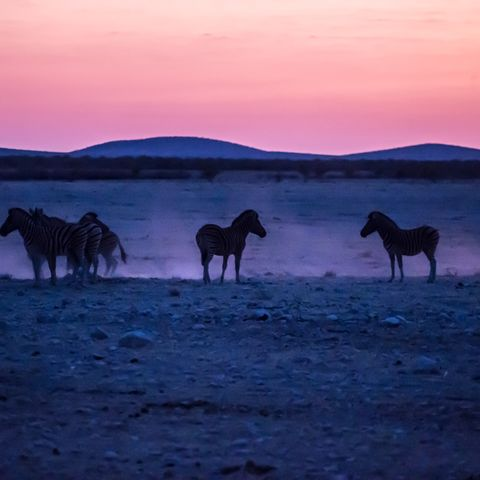 Wildpferde im Etosha Nationalpark kurz vor Sonnenaufgang, Namibia