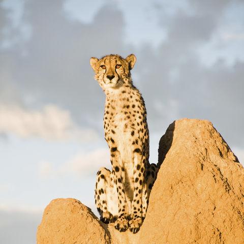 Gepard auf Wachposition, Namibia